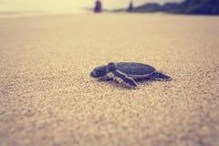 Un viaggio recentemente covato della tartaruga di mare Fotografie Stock Libere da Diritti