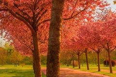 Un viale dei ciliegi di fioritura Immagine Stock Libera da Diritti