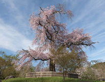 Un vieil arbre antique célèbre de fleurs de cerisier au parc de Maruyama en KY Images libres de droits