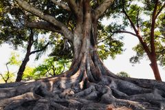 Un vieil arbre avec de grandes racines, Los Angeles, la Californie image stock