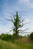 Un vieil arbre dans le pâturage Image libre de droits
