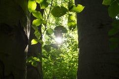 Un vieil arbre de hêtre Photographie stock libre de droits