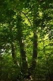Un vieil arbre de hêtre Photo stock