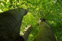 Un vieil arbre de hêtre Photo libre de droits