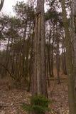 Un vieil arbre de lancement dans les bois image libre de droits
