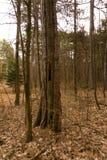 Un vieil arbre de lancement dans les bois photographie stock libre de droits