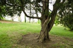 Un vieil arbre en nature Images stock