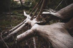 Un vieil arbre tombé dans la forêt images libres de droits