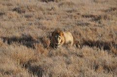 Un vieux lion masculin s'approchant de la haute herbe Photographie stock libre de droits