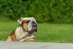 Un vieux mâle anglais puissant de bouledogue se trouve sur l'herbe au soleil louchant dans le plaisir photo libre de droits