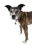 Un vieux pitbull Image stock