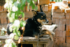 Un vieux portrait de chien de berger allemand Image stock