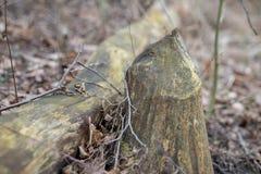 Un vieux tronc et un tronc d'arbre ont coupé par un castor Arbres et végétation sur les banques du lac photos stock