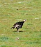 Un viga del gallopavo salvaje del Meleagris de los pavos que forrajea en San D fotografía de archivo
