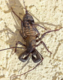 Un Vinegaroon, inoltre conosciuto come lo scorpione di frusta Immagini Stock