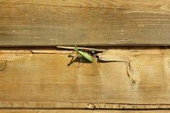 Un viridissima vert de Tettigonia de sauterelle se cache entre deux planches en bois images libres de droits