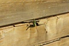 Un viridissima vert de Tettigonia de sauterelle se cache entre deux planches en bois image libre de droits