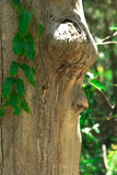 Un visage dans l'arbre Photographie stock libre de droits