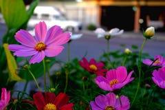 Un visage de fleur de cosmos à coté sur la route Photos stock