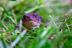 Un visage du ` s de grenouille photos libres de droits