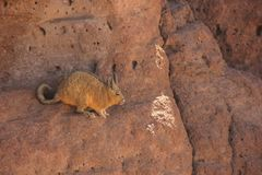 Un Viscacha sauvage en Bolivie photographie stock libre de droits