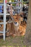 Un vitello Fotografia Stock