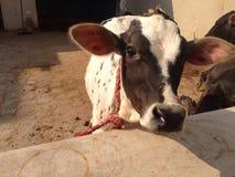 Un vitello del bambino Fotografia Stock Libera da Diritti