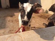 Un vitello del bambino Fotografia Stock