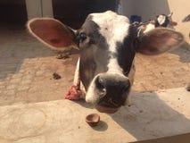 Un vitello del bambino fotografie stock libere da diritti