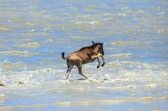 Un vitello dello gnu che attraversa un fiume nel Serengeti fotografie stock libere da diritti