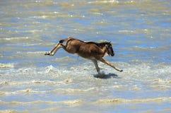 Un vitello dello gnu che attraversa un fiume nel Serengeti fotografia stock libera da diritti