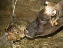 Un vitello neonato a partire da alcuni minuti Fotografie Stock Libere da Diritti