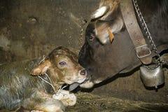 Un vitello neonato a partire da alcuni minuti Immagine Stock