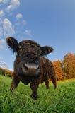 Un vitello nero Immagini Stock Libere da Diritti