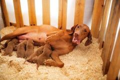 Un Vizsla feliz es un perro con los perritos jovenes miente en el serrín y los alimenta foto de archivo