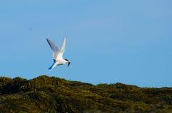 Un vol arctique de sterne avec un poisson photo libre de droits