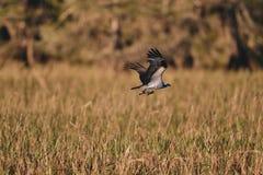 Un vol d'aigle au-dessus de l'étang herbeux images libres de droits