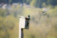 Un vol d'hirondelle d'arbre autour d'une maison d'oiseau photo stock