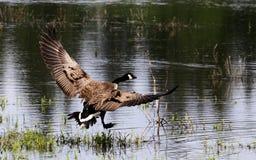 Un vol d'oie de Canada photographie stock