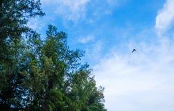 Un vol d'oiseau dans le ciel bleu Image stock