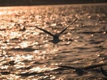 Un vol d'oiseau de mouette par la mer Image libre de droits