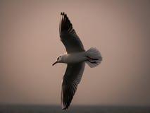 Un vol d'oiseau de mouette par la mer Image stock