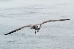 Un vol de mouette vers la caméra photo libre de droits
