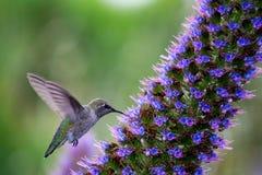 Un vol et un colibri de alimentation Photo stock