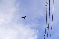 Un vol isolé de corneille dans le ciel Photos libres de droits