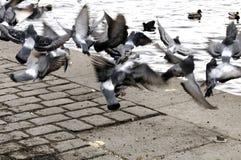 Un vol vers le haut des pigeons Photo libre de droits
