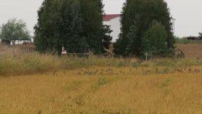 Un volo dei passeri spagnoli nelle risaie, Portogallo stock footage