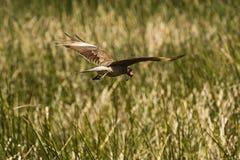 Un volo del falco con un pregare Immagini Stock