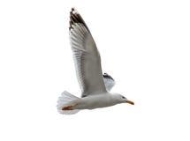 Un volo dell'uccello del gabbiano isolato su fondo bianco Fotografia Stock