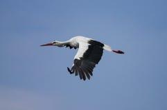 Un volo della cicogna nel cielo Fotografia Stock